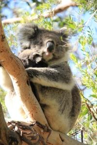 great ocean ecolodge koala - credit jordan mulloy