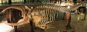 1200px-Squelette_baleine_australe