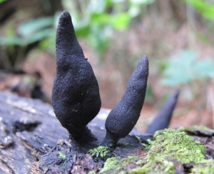 Xylaria species, Dead man's fingers