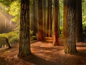 redwoods-otways-1