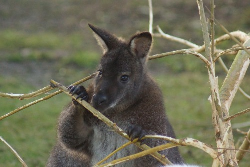 wallaby_39098837