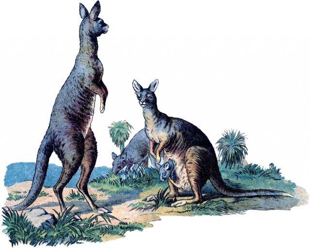 Vintage-Kangaroo-Image-GraphicsFairy-1024x819