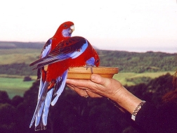 crimson-rosellas
