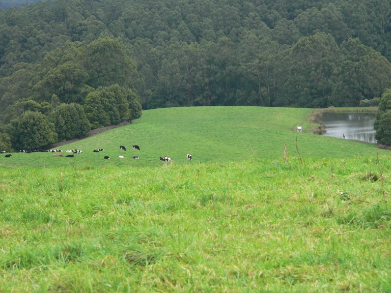 Cattle & dam