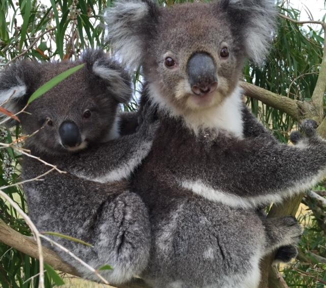 Koala family copy