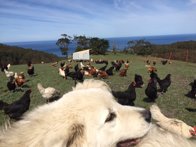Maremma and chooks copy