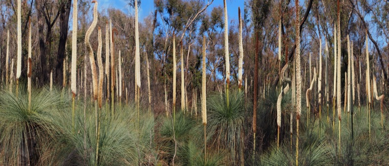Grass trees in bloom