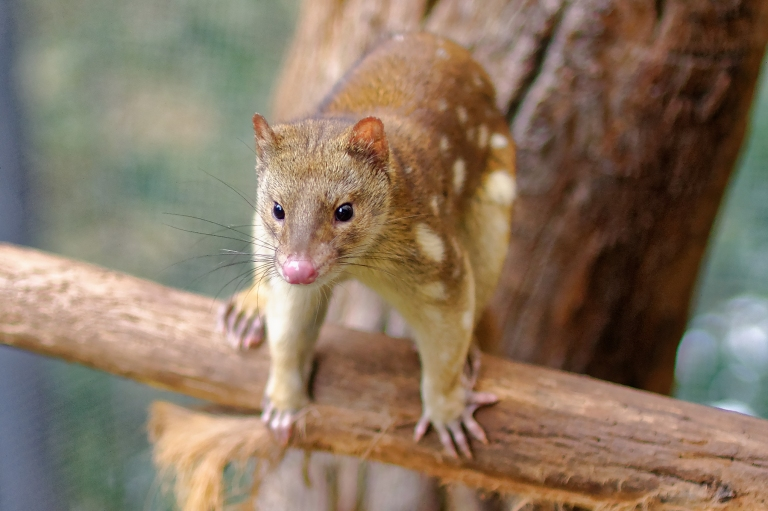 Spotted_Tail_Quoll_2011Mityan, the Moon (the quoll) in Boorong traditions.  Wikimedia_Michael J Fromholtz, CC BY-SA.jpg